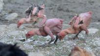 İsrail'e 'tüysüz tavuk' tepkisi