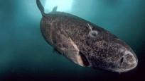 Dünyanın en yaşlı köpekbalığı Atlas Okyanusu'nda görüldü
