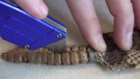 Çıngıraklı yılanın kuyruğunu açtılar.Bakın içinden ne çıktı
