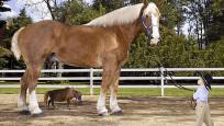 Bu atın büyüklüğünü görünce gözlerinize inanamayacaksınız!