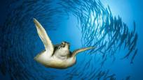 Erkek deniz kaplumbağalarının nüfusu tehlikede!