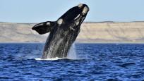 Avustralya'da 150 balina karaya vurdu!