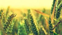 Rusya'da tarım silahı solladı