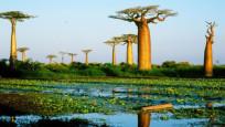 Binlerce yıllık dev ağaçlar ölmeye başladı