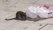 İsveç'te fareler sokaklara hakim oldu