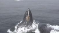 Kambur balinaların dans gösterisi