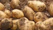 Niğde'de patates ekimi azaldı