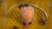 Arıların soyunu tükenmekten robotlar kurtaracak