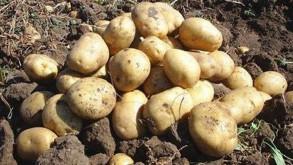 Patates fiyatlarını düşürecek hamle geldi