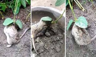 Hindistan'da tarlada bulunan fare şoke etti!