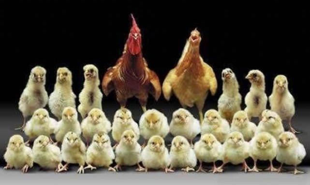 Bulgaristan 100 bini aşkın kanatlı hayvanı itlaf edecek