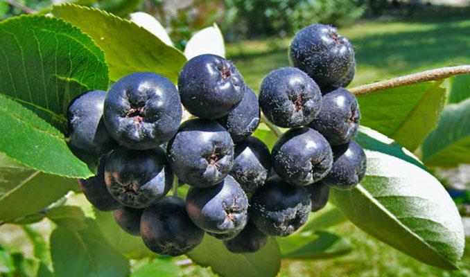 Türkiye'nin yeni meyvesi: Aronia
