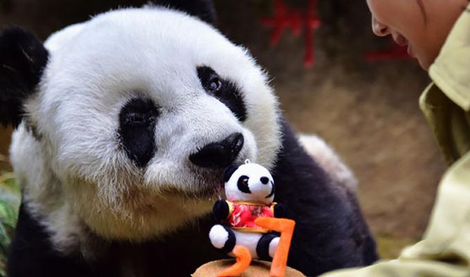 En yaşlı panda öldü
