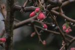 Mart ayında çiçek açmaları gerekiyordu Ocak ayının ortasında açtılar