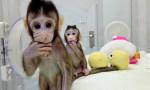 Çin genetiği değiştirilmiş maymun klonladı