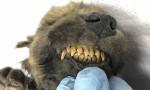Sibirya'da 18.000 yıllık donmuş köpek Bulundu