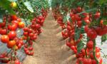 Çölde domates yetiştirilebilecek nitelikte gübre üretildi