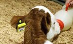 Hayvancılık sektörüne 'elektronik küpe' geliyor