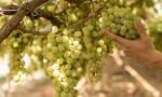 Sofralık üzümde kesim ve ihraç tarihleri belli oldu