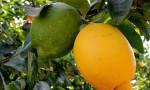 Eylül ayında zirve limon ihracatında