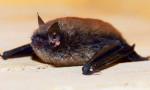 Ölümcül hastalıklar neden yarasalardan bulaşıyor?
