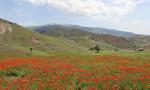 Oltu'da doğanın hediyesi gelincik tarlaları