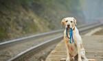 Köpeklerde insan yılı hesabı değişti! Çok daha çabuk olgunlaşıyor