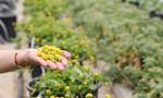 Yenilebilir elektrik çiçeğine yoğun ilgi