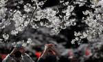 Sakura sürprizi