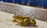 Başkentte yollar kurbağalar için kapatıldı