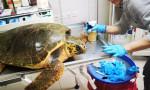 Nesli tükenen kaplumbağaya ateş ettiler