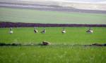 Yozgat'ta nesli tükenmekte olan toy kuşu sürüsü görüntülendi