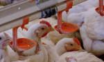 Tavuk üretimi arttı