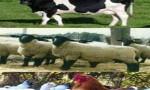 Türkiye'nin hayvan varlığı geriliyor