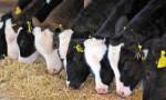 Leasing ile inek satışı başladı