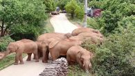 Başıboş dolaşan fil sürüsü yönlendirilmeye çalışıyor