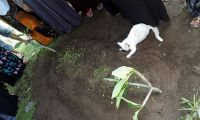 Sahibinin mezarını kazmaya çalışan kedinin dramı