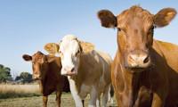 İrlanda'dan 2 bin sığır daha yola çıkıyor!