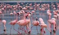 Tuz Gölü flamingo show
