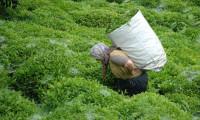 ÇAYKUR, özel sektöre çay satışına başladı