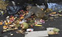Hindistan'da korona virüs nedeniyle aç kalan maymunlar şehre indi