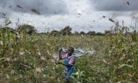 BM çekirge istilasına karşı uyardı