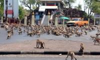Turist gelmeyince aç kalan maymunlar şehre indi