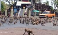 Tayland'da bir kentin kontrolü maymunların eline geçti