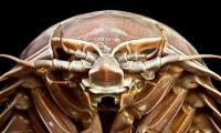 Deniz hamam böceği