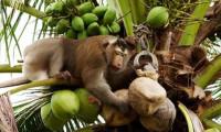 Tayland'ın işçi köleleri: Maymunlar