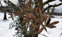 Yalancı bahara aldanan zeytin ağaçları, don nedeniyle yandı