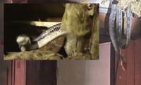 Sızdırıyor sanmışlardı... Tavandan yılanlar döküldü!