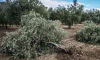 Zeytin ağaçlarını kesen firmaya 511 bin TL ceza