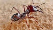 İşte dünyanın en hızlı karıncası